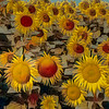 Sunflower Impression