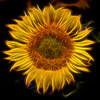 Flaming Sunflower 6749