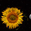 Flaming Sunflower, Moon & Stars