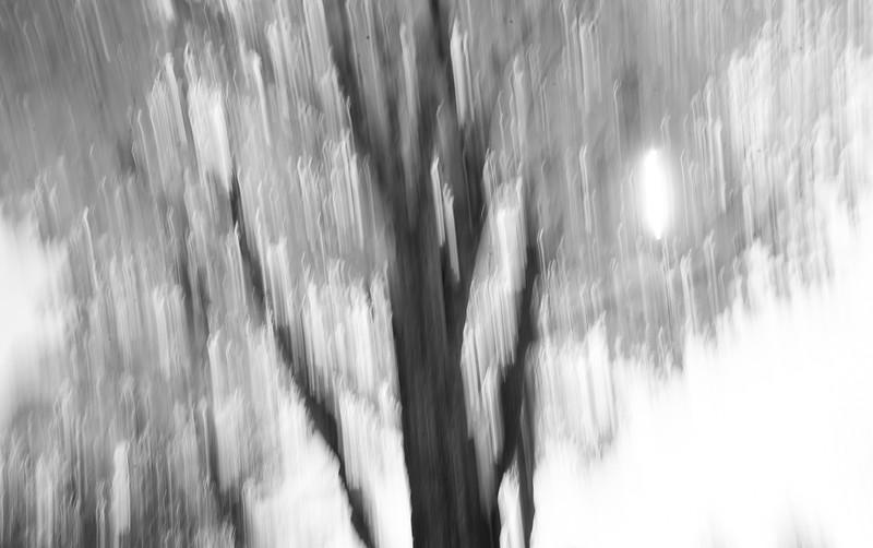 Maple Tree ICM B&W