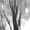 Maple Tree ICM B&W
