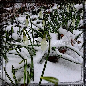 Snow drops in the snow, Easton, PA