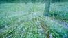 Lupine and Tree Trunks Rack-Focused, Blairsden CA
