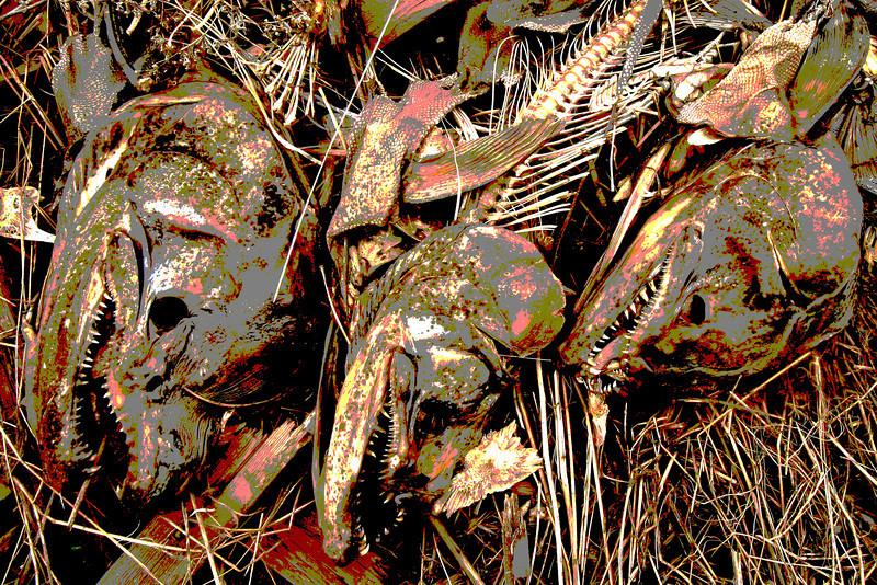 Salmon Carcasses, Near Oroville CA