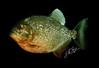 Piranha black
