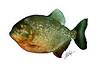 Piranha white