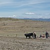 This is the mostly used method for cultivation of potato fields around lake Titicaca. Almost nothing else eatable is growing at that altitude.