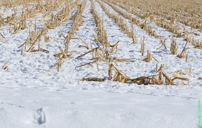 AlyciaC:Lines in the Corn