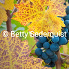 Wine Grape Closeup, Shenandoah Valley, Amador County