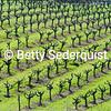 Old Vineyard in Spring