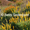 Yellow Lupine and Poppies, Amador City
