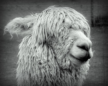 Suri Alpaca in Black and White