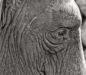 Close Up of an Elephant in Black and White