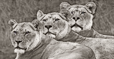 Lionesses Side By Side by Side