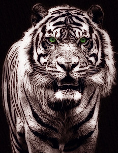 Black and White Tiger with Green Eyes