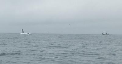 Moss Landing Whales 6