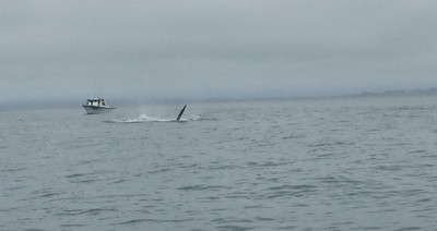 Moss Landing Whales 12