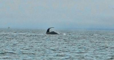 Moss Landing Whales 4