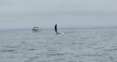 Moss Landing Whales 11