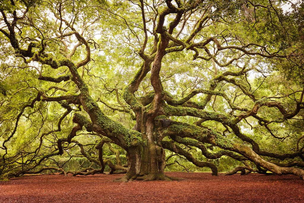 Angel Oak, John's Island, SC.