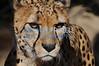 Cheetah 2012
