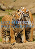 Sibling love<br /> Tiger cubs at the San Diego Zoo 2012<br /> Accepted at the Del Mar Fair