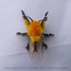 A Moth Mimics a Bee