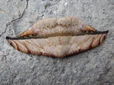 Leaf-Mimic Moth II