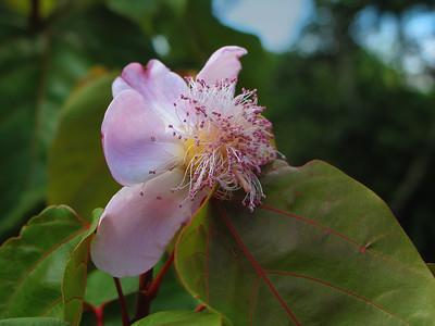 Achiote Blossom