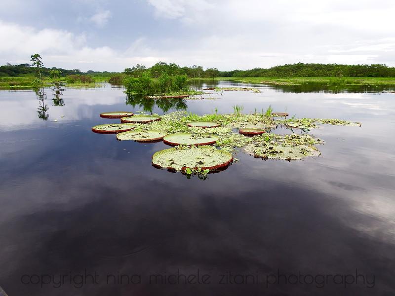 Victoria Waterlily Habitat