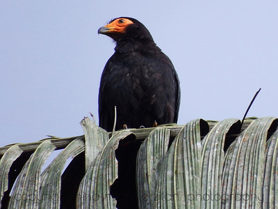 Black Caracara on Palm