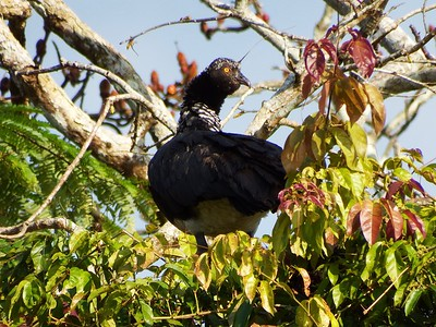 Horned Screamer II