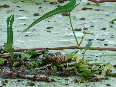 Wattled Jacana Nest