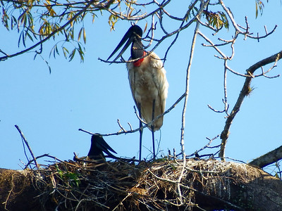 Jabiru Nest Close-up