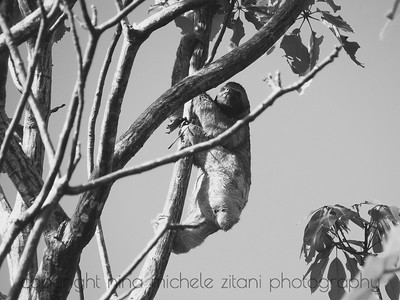 Climbing Sloth