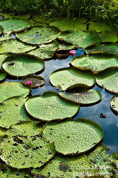 Large lilly pads and lillies.