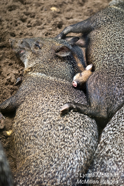 Collared Peccary baby