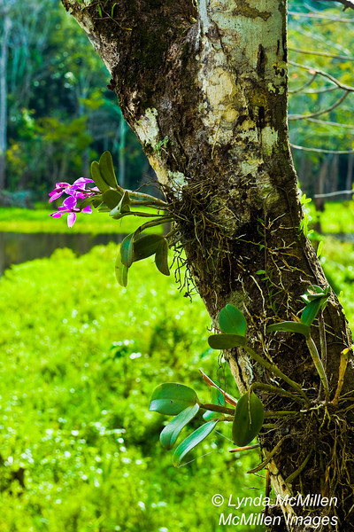 Amazonian Orchid
