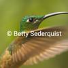 Hummingbird in Flight, Cloud Forest