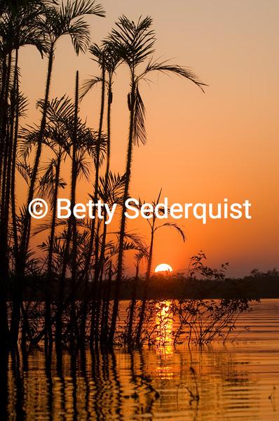 Submerged Palms, Amazon