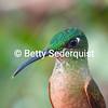 Hummingbird, Cloud Forest