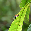 Insect--As always in a rainforest, the insect life is very colorful. Mamiraua Reserve, Central Amazon Basin, Brazil