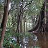 Varzea or Flooded Forest, Mamiraua Reserve, Central Amazon Basin, Brazil