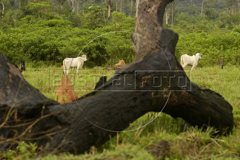 """Cattle grazes near a burned, fallen tree on a ranch in the """"Terra do Meio"""" or Middle Lands, in the municipality of Sao Felix do Xingu in Brazil's Amazonian state of Para. Named for the area between the Xingu and Iriri Rivers, the 29,343 sq. mile area (slightly smaller than Maine or Scotland) lies in the path of progress as cattle ranches encroach from the east and big business soy advances from the south. illegal logging, labor, land-grabbing and human rights abuses in the area are not uncommon. Simple people, looking for opportunity to have some cheap land, are migrating to the reagion. Much Like the favelas of Rio de Janeiro, which were not officially included on city maps until the mid-1990s, the Middle Land is also a species of autonomous zone - a black hole of information and uncertainty over which Brazilian authorities in reality have little control. (AustralFoto/Douglas Engle)"""