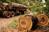 """A loaded log truck sits near felled trees in the """"Terra do Meio"""" or Middle Lands, in the municipality of Sao Felix do Xingu in Brazil's Amazonian state of Para. Named for the area between the Xingu and Iriri Rivers, the 29,343 sq. mile area (slightly smaller than Maine or Scotland) lies in the path of progress as cattle ranches encroach from the east and big business soy advances from the south. illegal logging, labor, land-grabbing and human rights abuses in the area are not uncommon. Simple people, looking for opportunity to have some cheap land, are migrating to the reagion. Much Like the favelas of Rio de Janeiro, which were not officially included on city maps until the mid-1990s, the Middle Land is also a species of autonomous zone - a black hole of information and uncertainty over which Brazilian authorities in reality have little control. (AustralFoto/Douglas Engle)"""