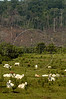 """Cattle grazes on federal land known as """"terra do meio,"""" or """"middle lands,"""" referring to its location between two major rivers, in Brazil's Amazonian state of Para, Oct. 2, 2004. The Amazonian problems of deforestation, wood trafficking, habitat destruction, slave labor, land grabbing, and violence are all intertwined as colonization of the region accelerates. Many who come to carve an existence from the forest believe that the Amazon exists to be exploited and point to the USA and Europe as examples. In many ways the federal government promotes this situation with rural projects, highway construction and agrarian reform, while at the same time that it tries to stop it through the environmental agency IBAMA or the Federal Police.(AustralFoto/Douglas Engle)"""