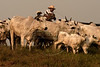 A cowboy drives cattle on a ranch in the south of Brazil's Amazonian state of Para, Sept. 30, 2004. As any satellite map can show, there is a direct link of road construction and forest destruction. As roads improve, migration increases, forest is cleared to make way got ranches and towns. Currently about 18,000 square kilometers is destroyed each year. In many ways the federal government promotes this situation with rural projects, highway construction and agrarian reform, while at the same time that it tries to stop it through the environmental agency IBAMA or the Federal Police.(AustralFoto/Douglas Engle)