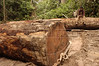 """A worker rests on felled trees in the """"Terra do Meio"""" or Middle Lands, in the municipality of Sao Felix do Xingu in Brazil's Amazonian state of Para. Named for the area between the Xingu and Iriri Rivers, the 29,343 sq. mile area (slightly smaller than Maine or Scotland) lies in the path of progress as cattle ranches encroach from the east and big business soy advances from the south. illegal logging, labor, land-grabbing and human rights abuses in the area are not uncommon. Simple people, looking for opportunity to have some cheap land, are migrating to the reagion. Much Like the favelas of Rio de Janeiro, which were not officially included on city maps until the mid-1990s, the Middle Land is also a species of autonomous zone - a black hole of information and uncertainty over which Brazilian authorities in reality have little control. (AustralFoto/Douglas Engle)"""