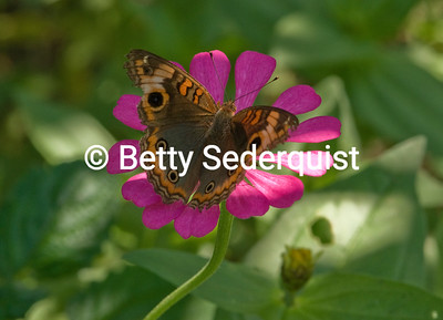 Butterfly on Pink Flower, Amazon