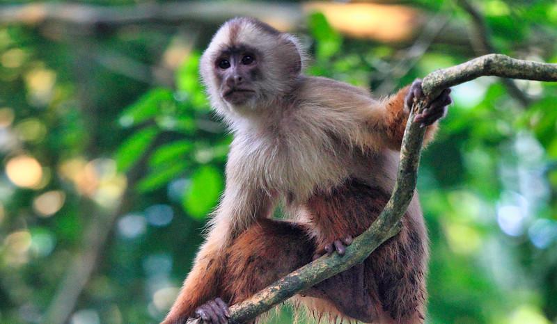Στην Περουβιανή Αμαζονία (ΠΕΡΟΥ). Λοφιοφόρος καπουτσίνος
